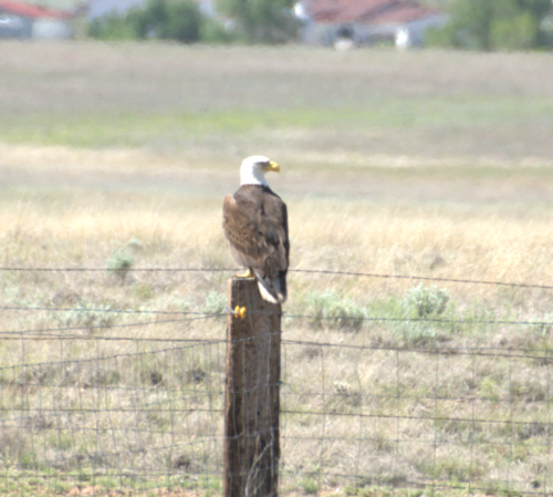 Bald Eagle May 2019