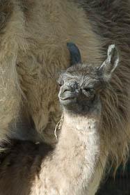 Llama Cria - Natasha