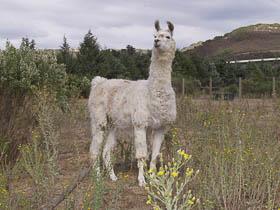 Melvin - Llama